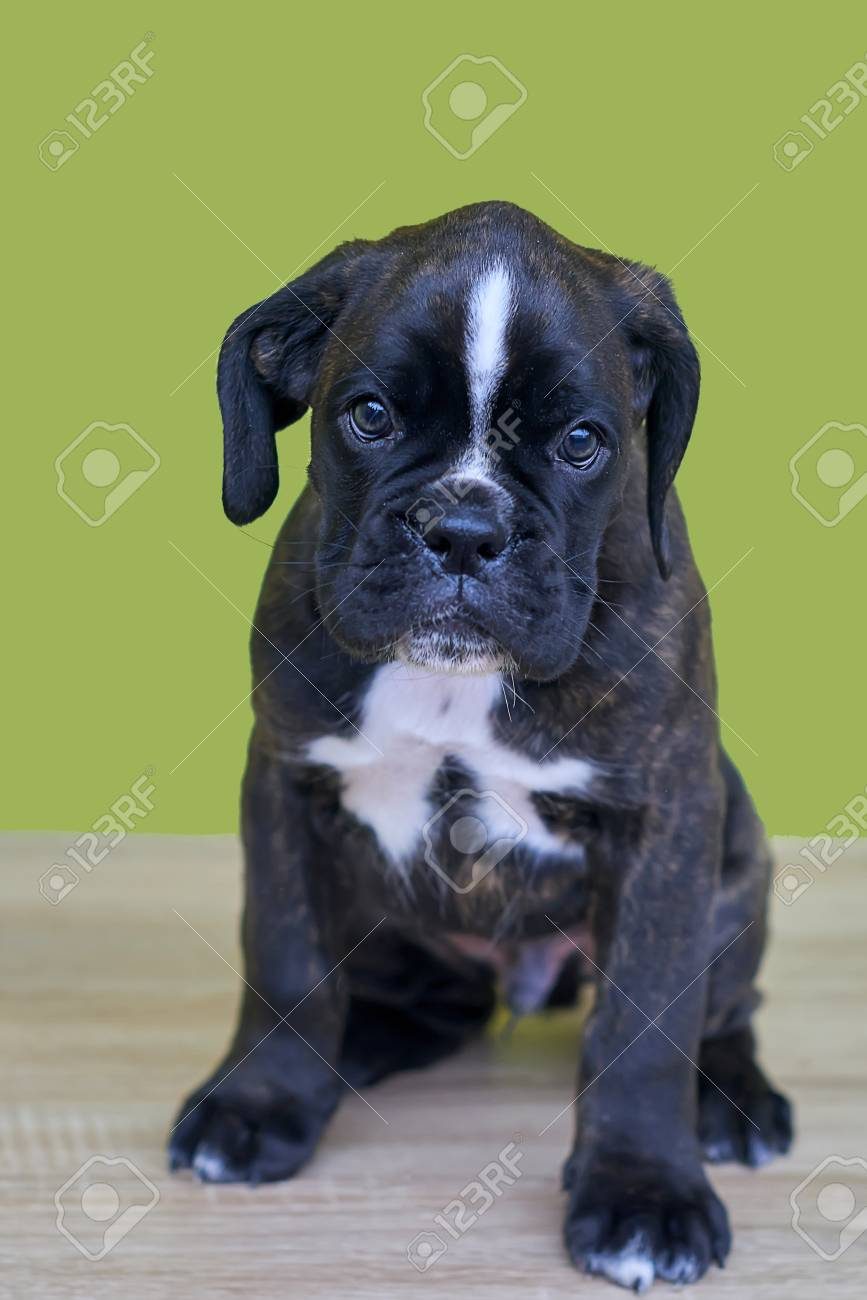 Small black with white spots on nose bridge and neck Boxer puppy