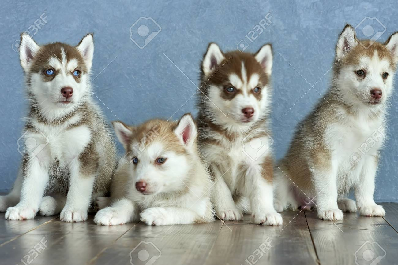 Four Blue Eyed Copper And Light Red Husky Puppies On A Wooden Stock Photo Picture And Royalty Free Image Image 111913879