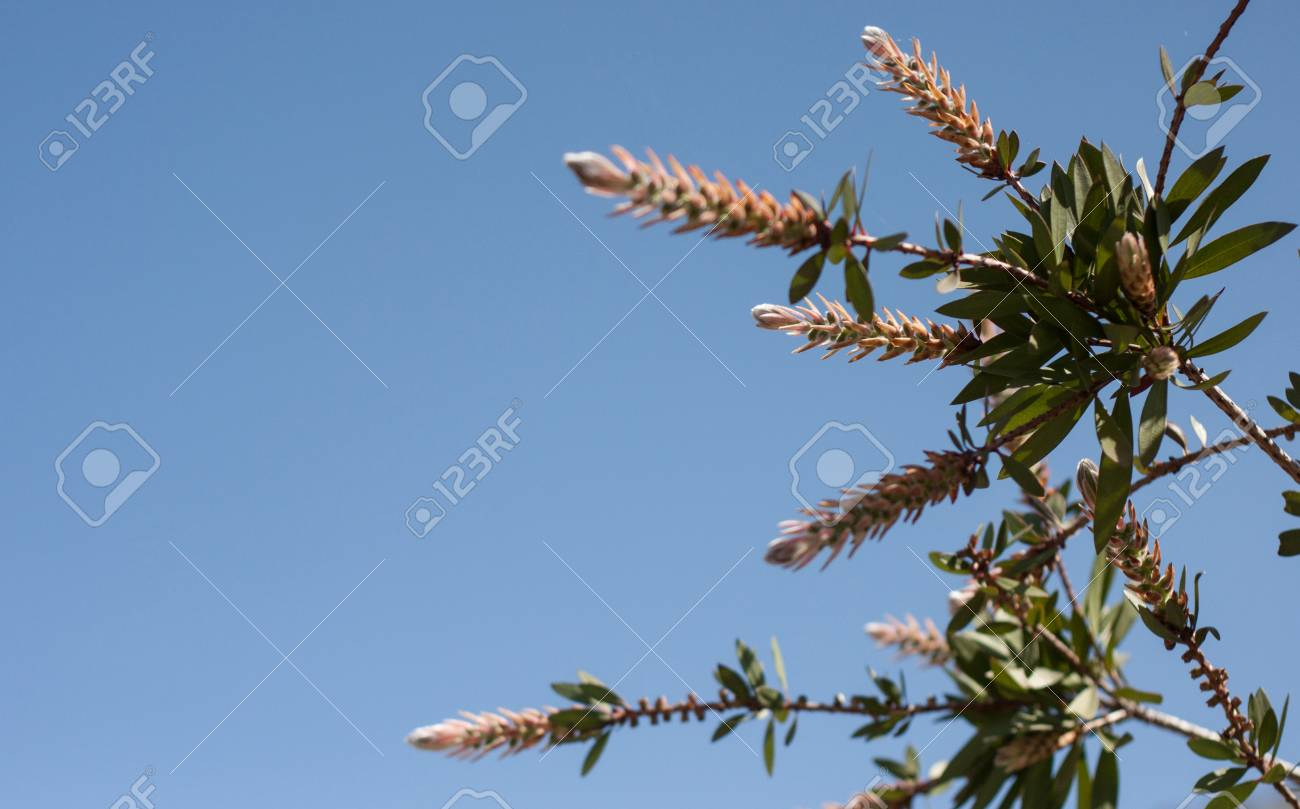 Spring Blooming Flowers On Tree With Blue Sky Background Zdjcia