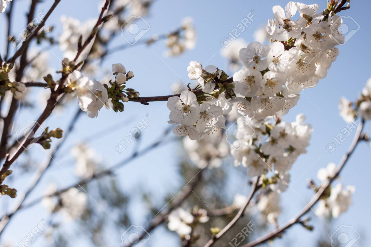 Spring Blooming Flowers On Tree With Blue Sky Background Stock Photo