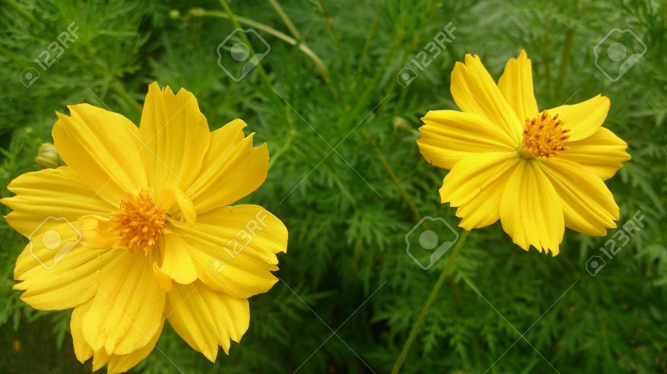 Overlapping petals of yellow cosmos flower stock photo picture and overlapping petals of yellow cosmos flower stock photo 45688708 mightylinksfo