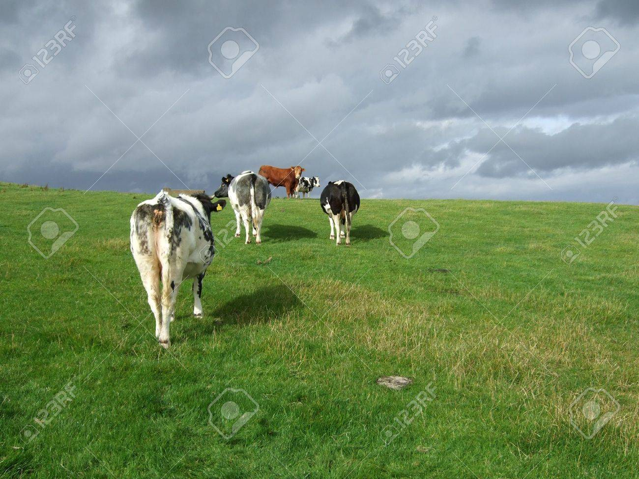 Cows Running Away Cows Running Away From The