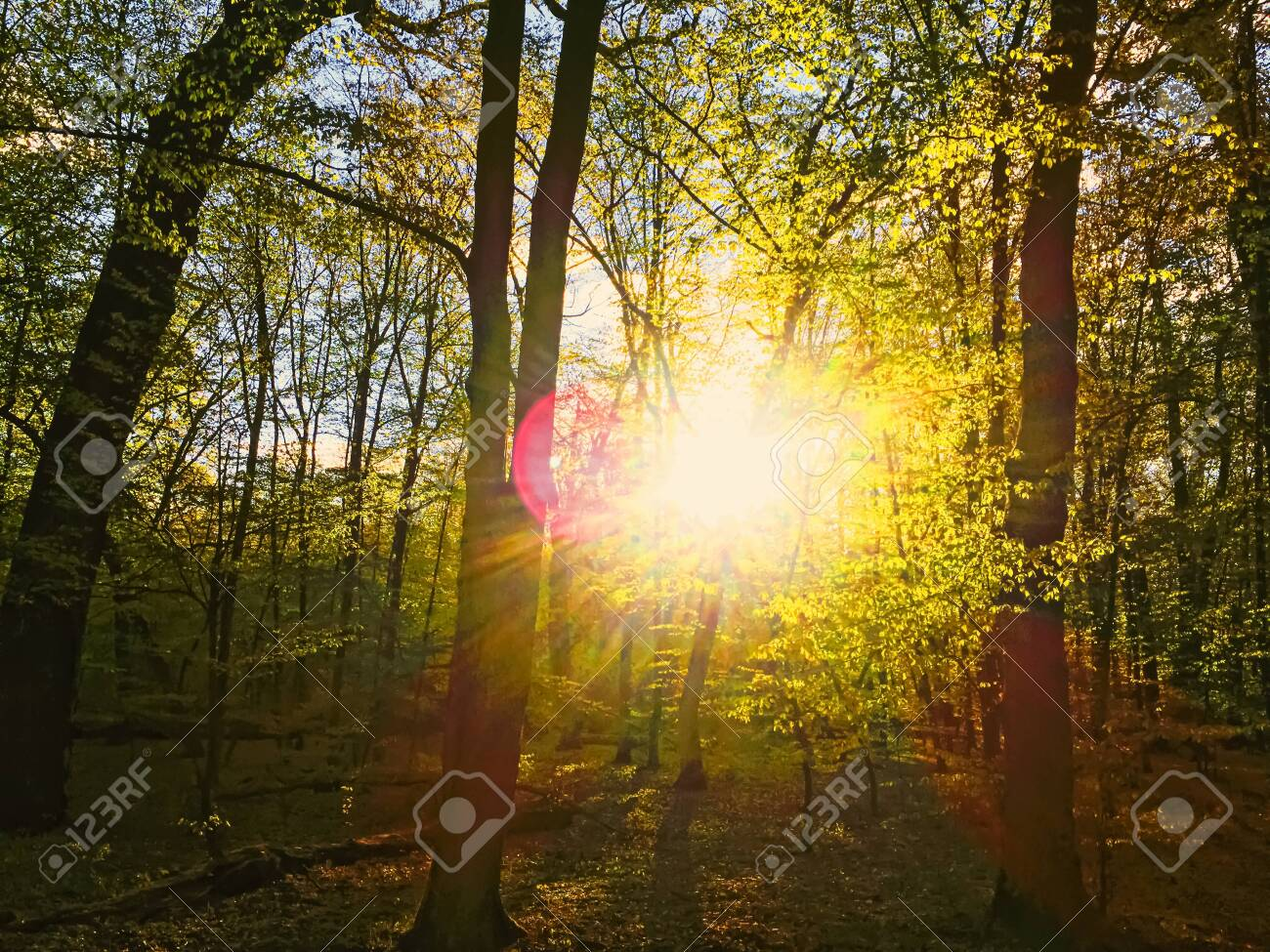 Spring forest landscape at sunset or sunrise, nature and environment - 147877334