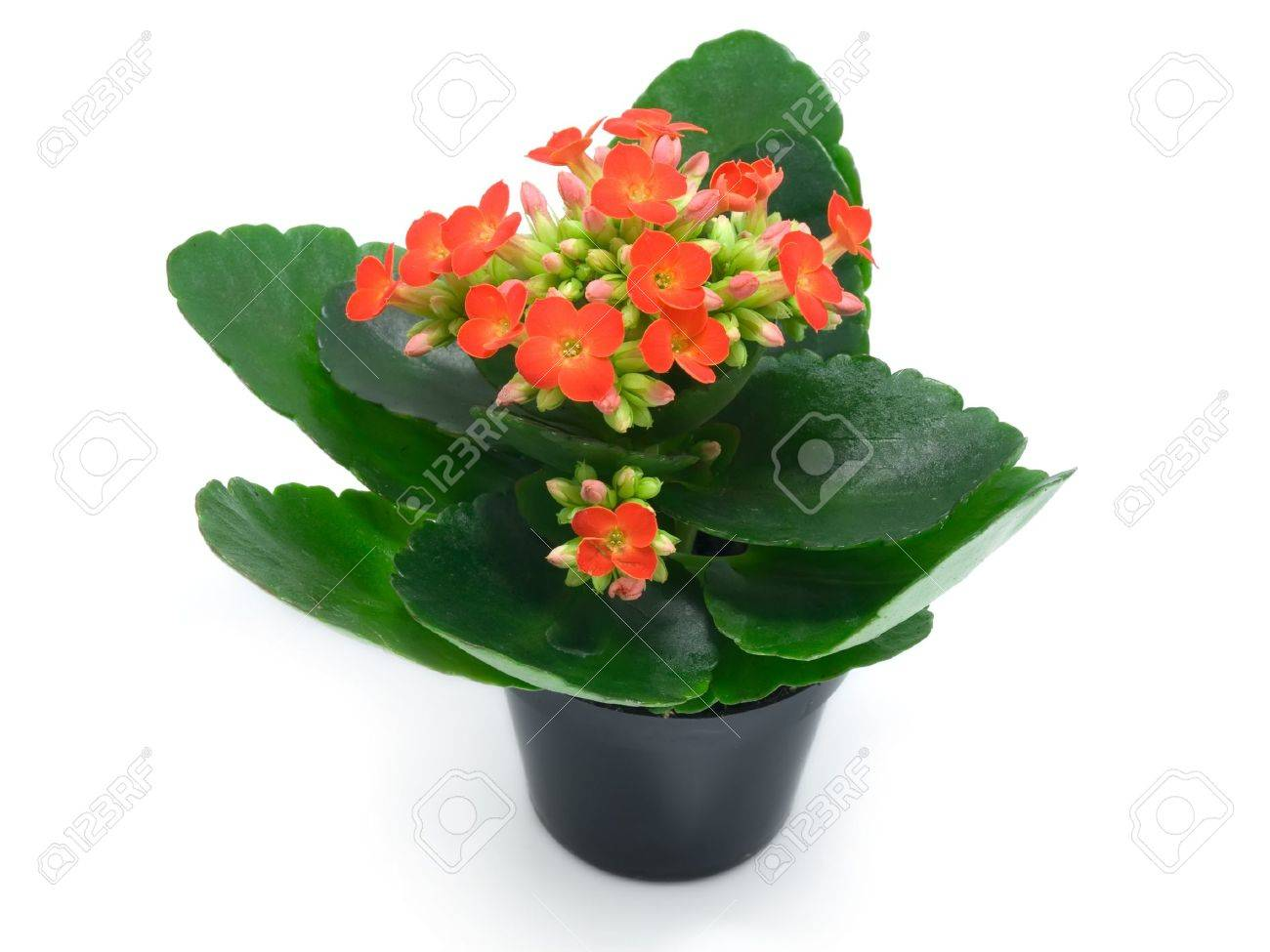Red Flowering House Plants green houseplants with red flowers stock photo, picture and