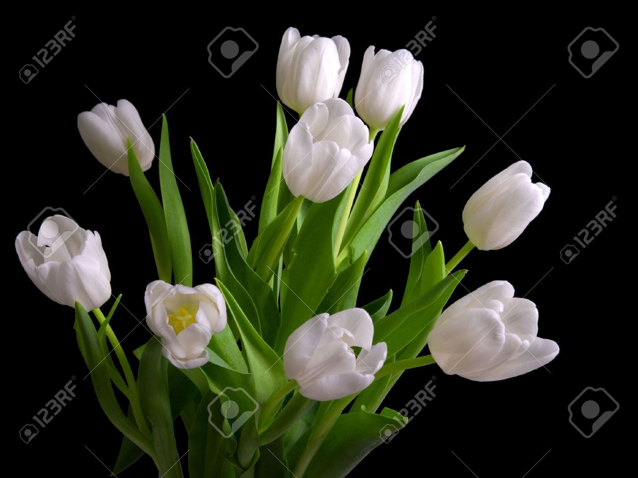 White Tulips On Black Background Stock Photo Picture And Royalty