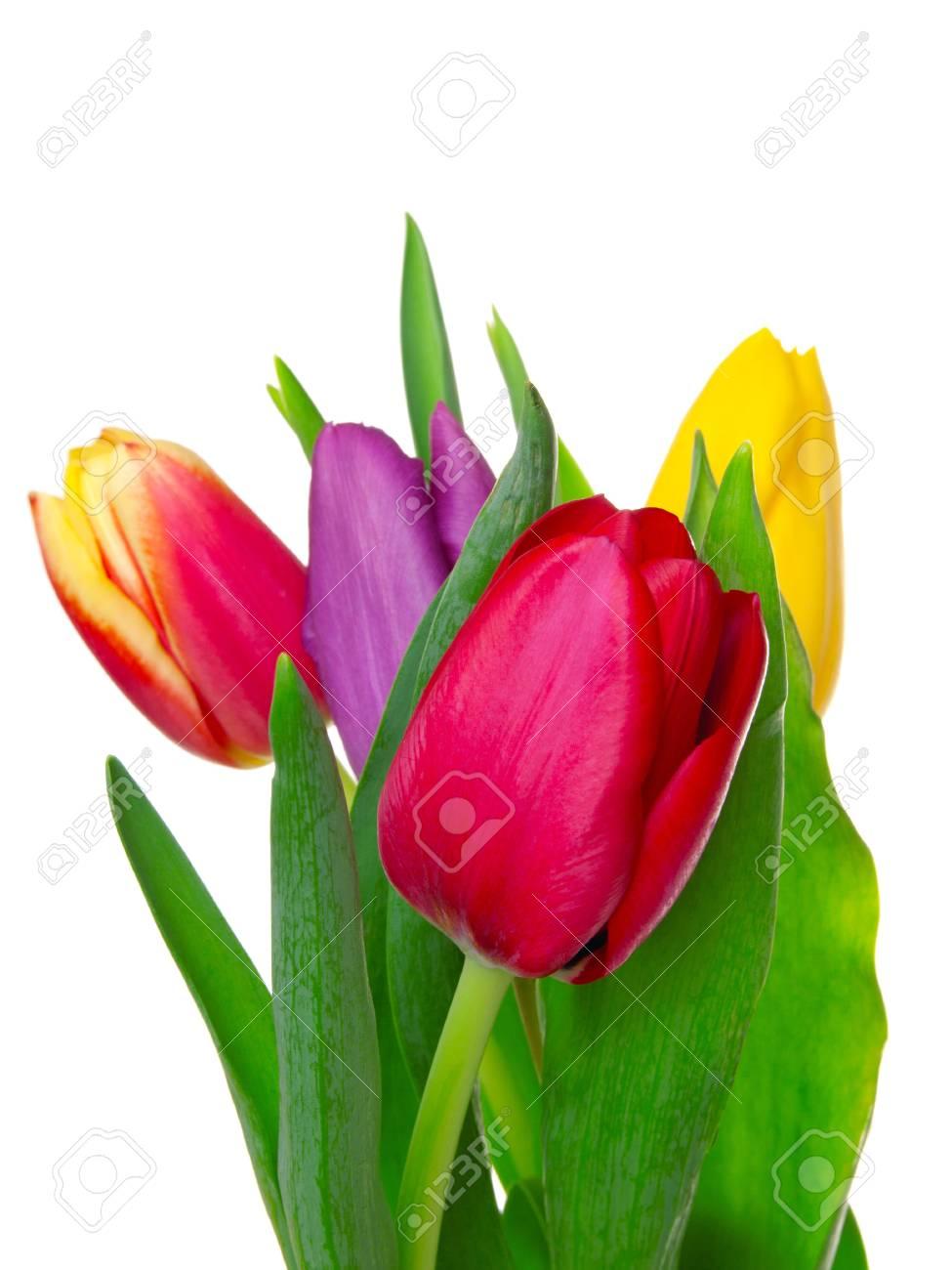 tulips on isolated background Stock Photo - 11989608