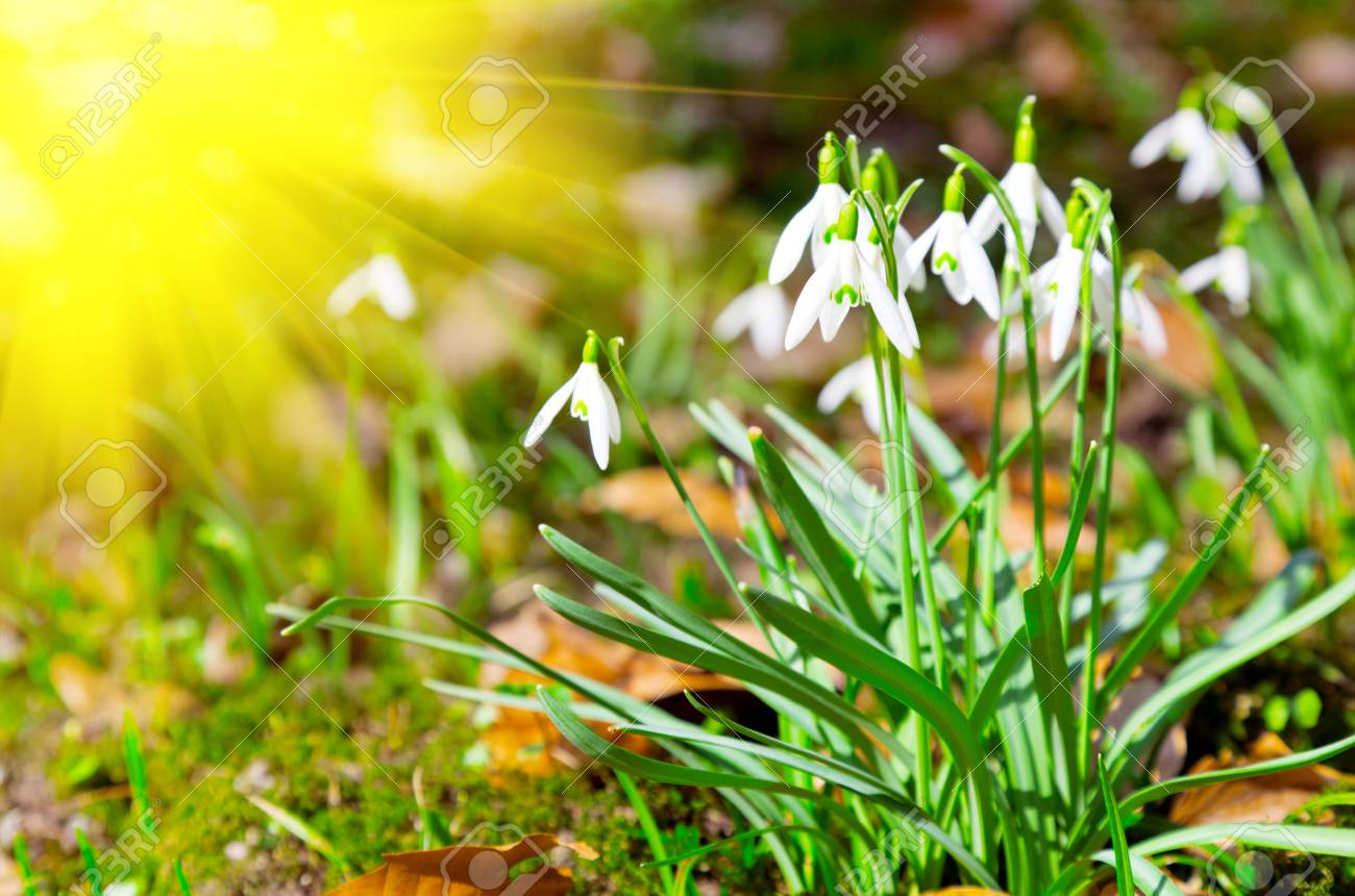 Close up of snowdrops spring with sun. Stock Photo - 17129039
