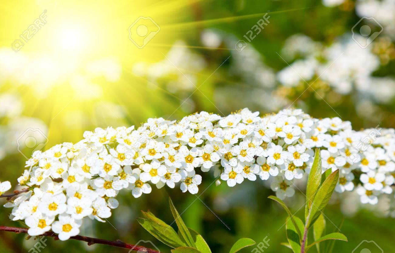 Weiss Spiraea Madesuss Blumen Fruhjahr Strauch In Der Familie