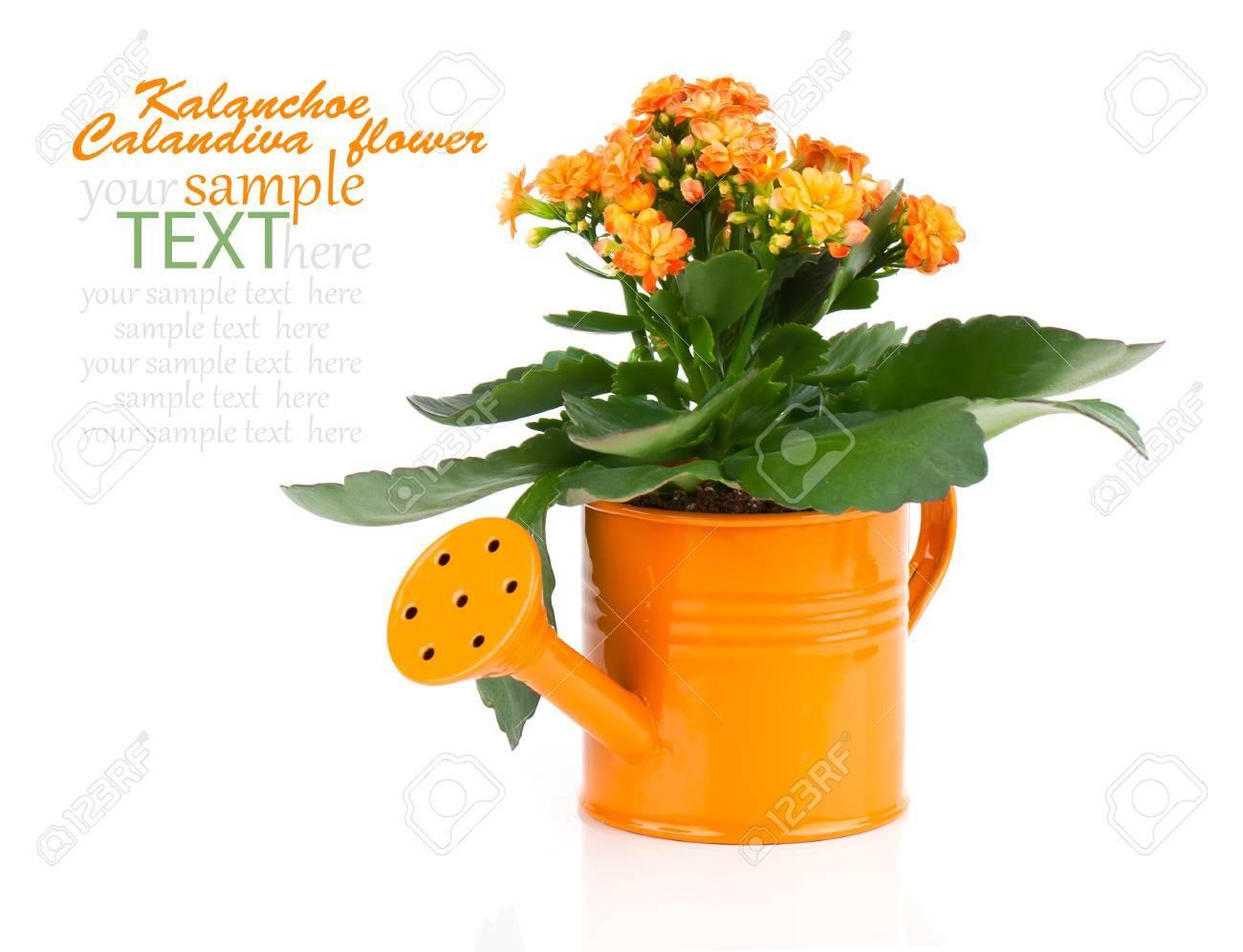 Fleur Kalanchoe Dans Un Pot A Eau D Orange Isole Sur Blanc Banque D