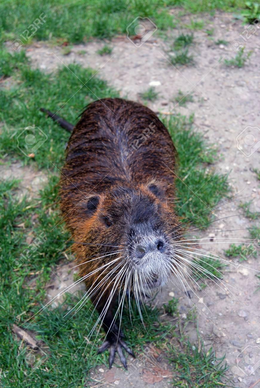 野生の毛皮のようなヌートリア都市公園の川沿いの歩道にいくつかの食品を求めています。川ネズミ ヌートリア ニンブルク、チェコ共和国として知っています。