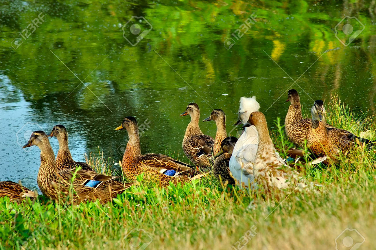 Ducks on the Bank of the River - What's everyone looking at? Stock Photo - 223034
