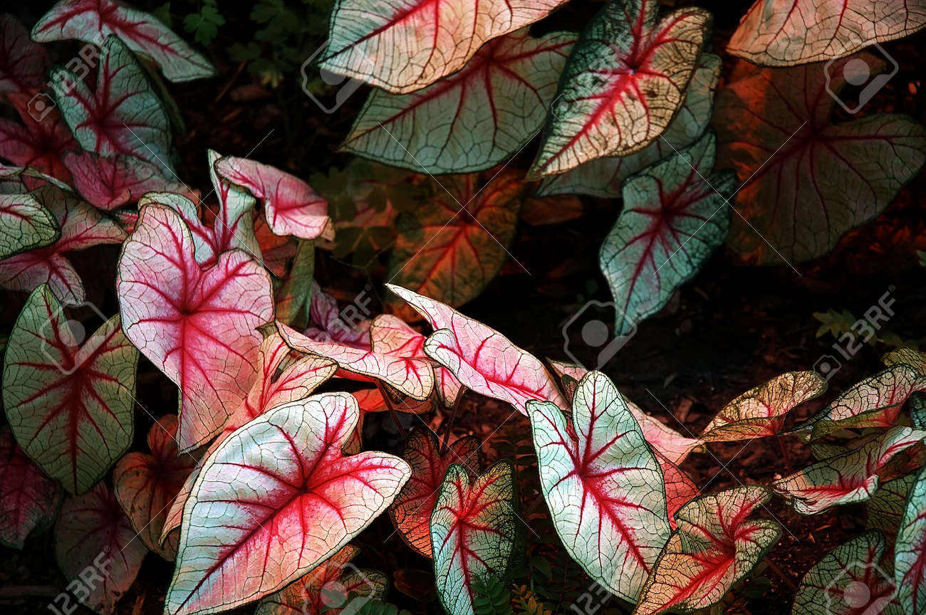 Elephant Ears Caladium Hortulanum Large Leaves Of An Elephant