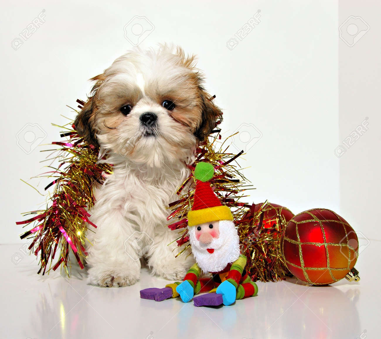 A Puppy For Christmas.Christmas Puppy A Shih Tzu Puppy And Christmas Holiday Ornaments