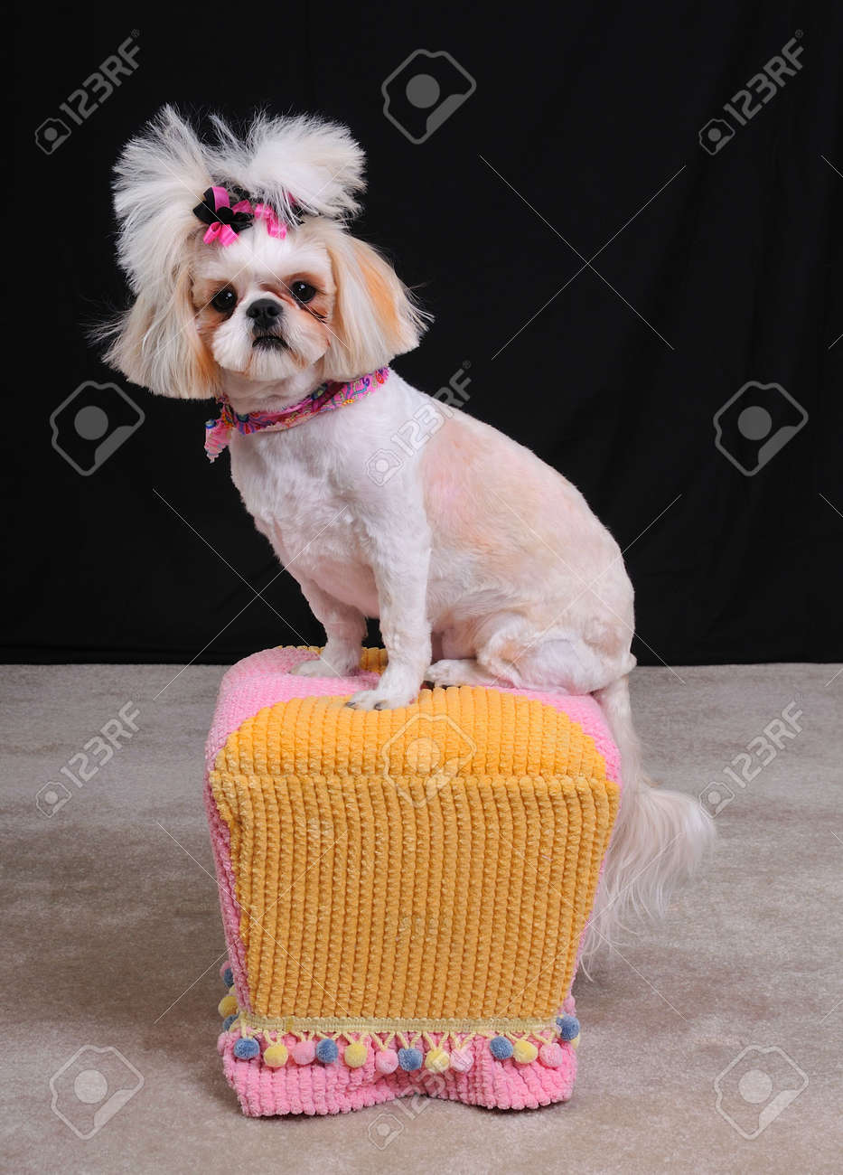 Shih Tzu Dog With A Short Summer Haircut And Bows In Her Pigtails Stock Photo Picture And Royalty Free Image Image 4541216