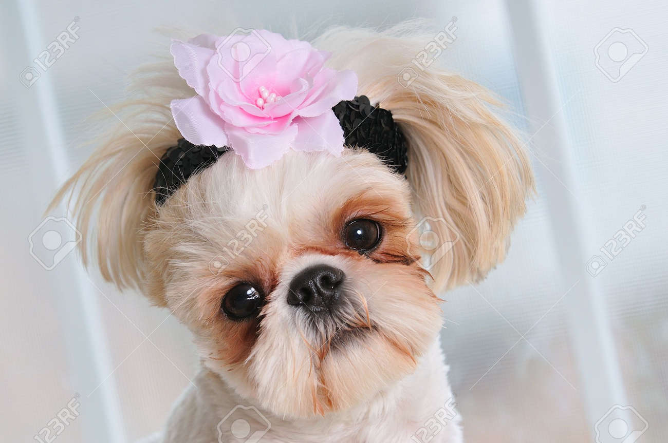Shih Tzu Puppy Eyes Close Up Shot Of A Sweet Little Female