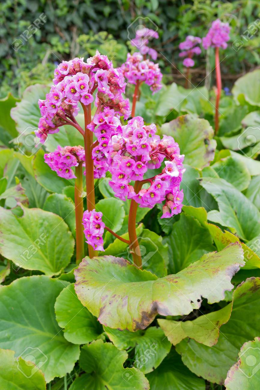 Bergenia Cordifolia Pink Elephant Ears Plant Growing In A Garden Stock Photo Picture And Royalty Free Image Image 107690781