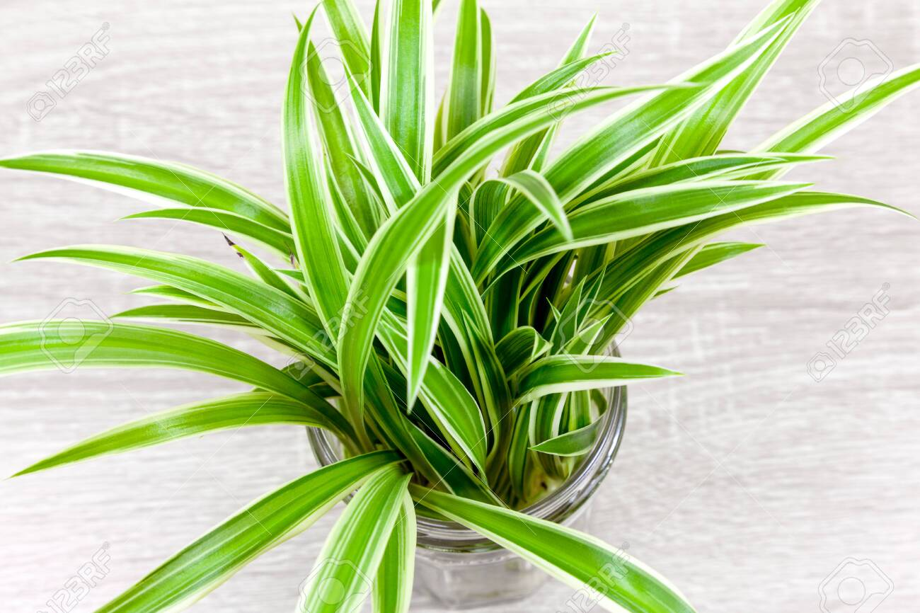Variegated Spider Plant Foliage Viewed From Above Stock Photo Picture And Royalty Free Image Image 143087199