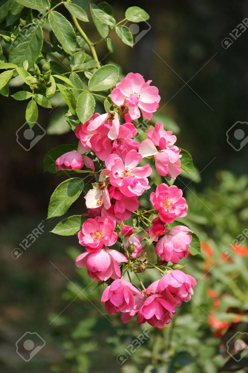 Pink Climber Roses Stock Photo Picture And Royalty Free Image