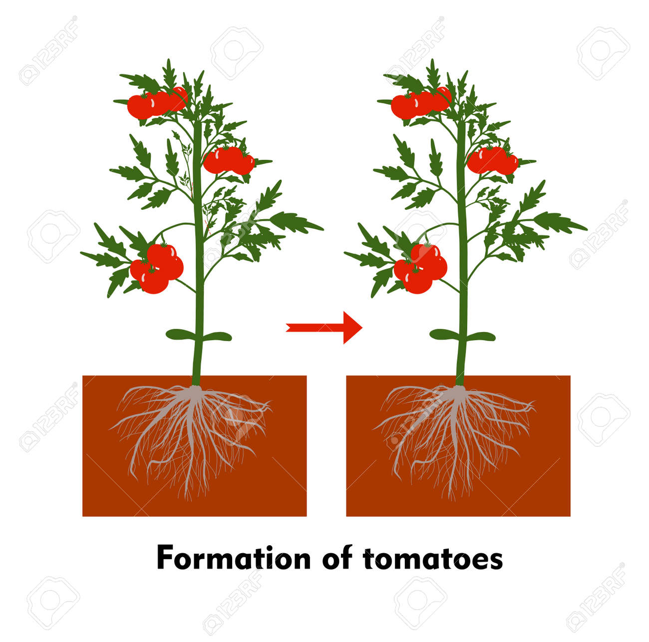 Planting tomatoes in the ground. Growing a tomato. Seedling. Disembarkation in the greenhouse. Vegetable growing technology. Horticulture. Determinant and indeterminate hybrids. - 168914929