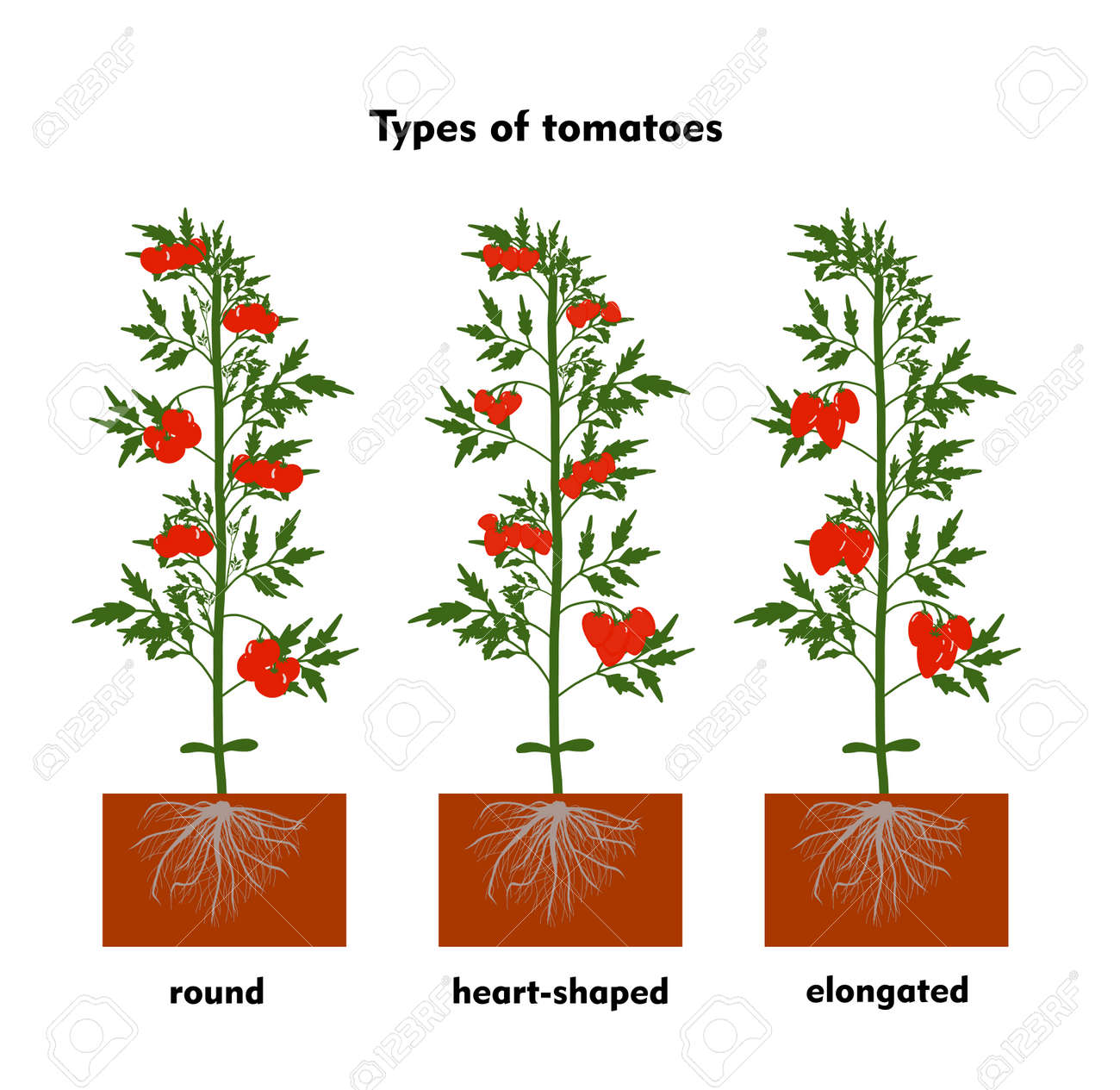Planting tomatoes in the ground. Growing a tomato. Seedling. Disembarkation in the greenhouse. Vegetable growing technology. Horticulture. Determinant and indeterminate hybrids. - 168914930