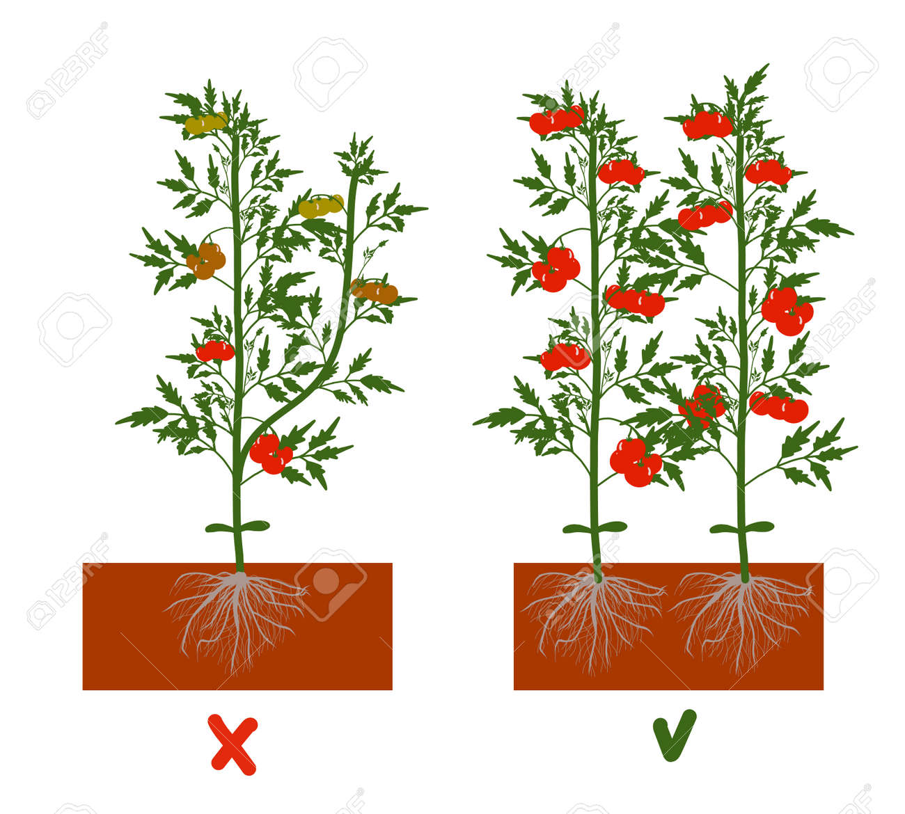 Planting tomatoes in the ground. Growing a tomato. Seedling. Disembarkation in the greenhouse. Vegetable growing technology. Horticulture. Determinant and indeterminate hybrids. - 168914931