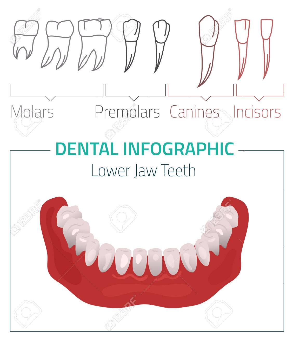 Menschliche Zähne Zahninfografik. Bearbeitbare Abbildung Mit Lower ...