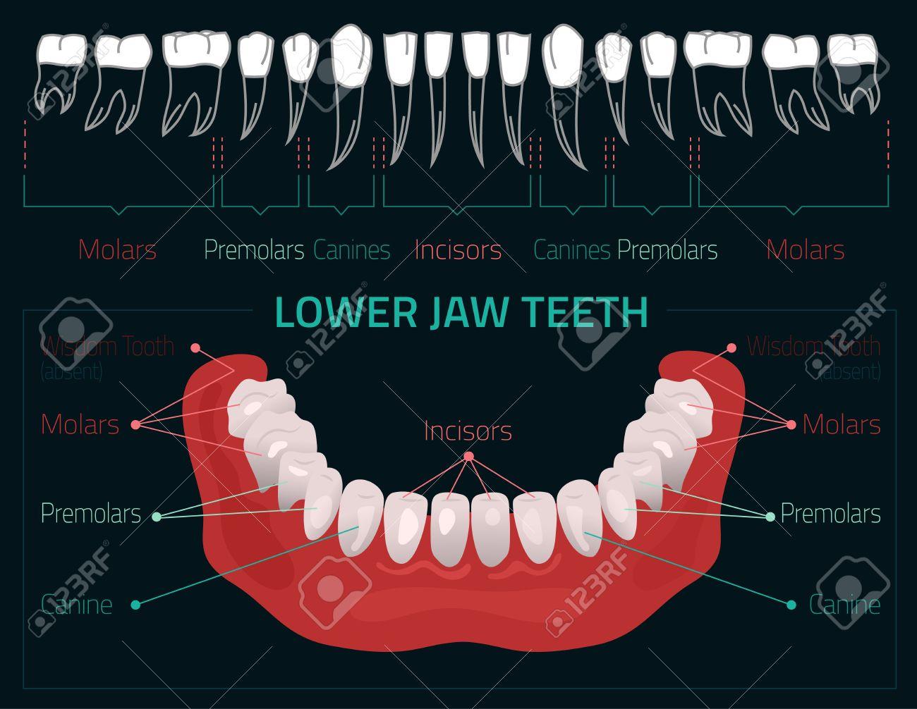 Menschliche Zähne Zahninfografik. Editierbare Darstellung Mit ...