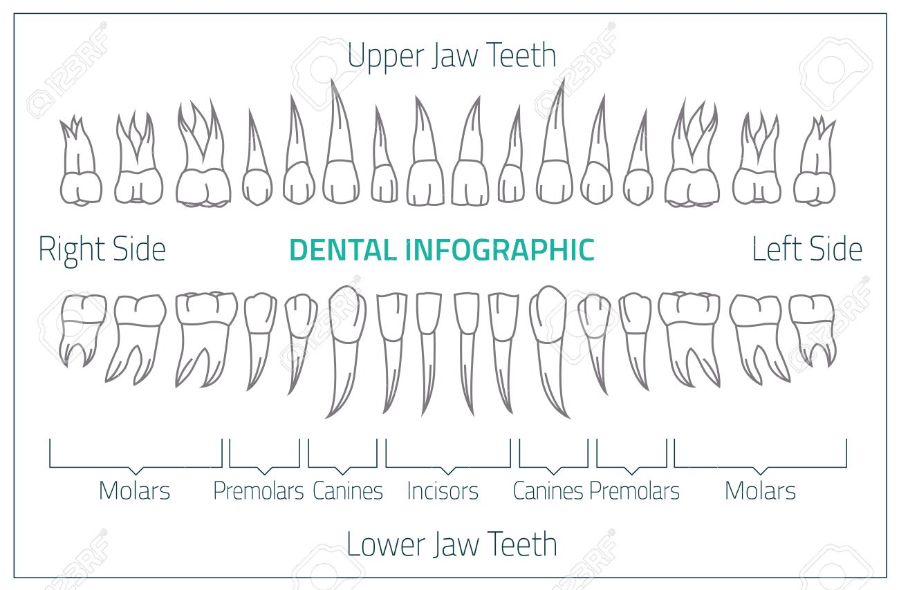 Adult International Tooth Chart. Illustration. Editable Image In Neon  Colors On White Background.