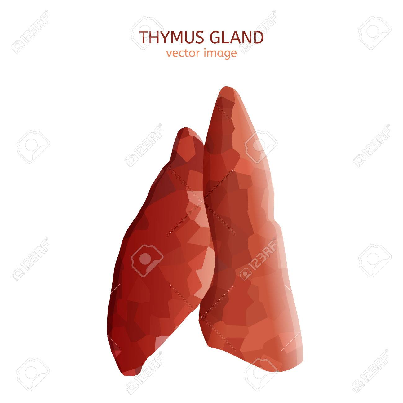 Thymus Gland Image Stock Photo Picture And Royalty Free Image