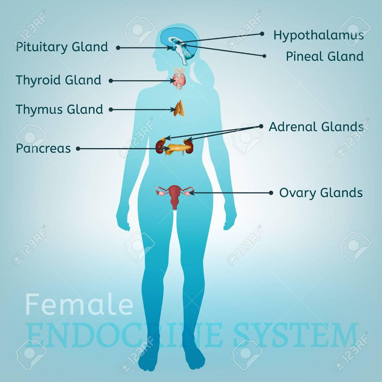 Ausgezeichnet Funktionen Des Endokrinen Systems Bilder - Menschliche ...