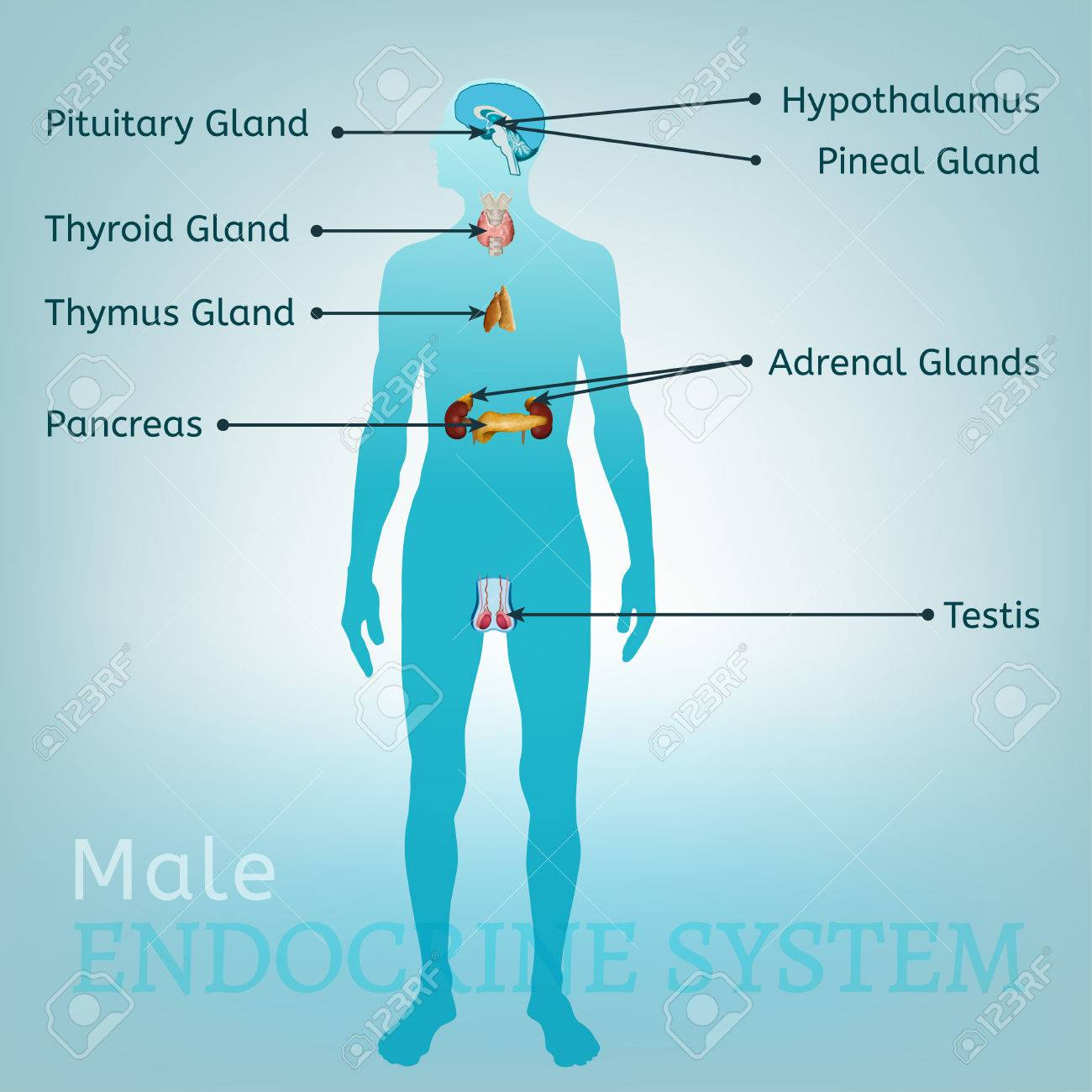 Male endocrine system human anatomy human silhouette with detailed human anatomy human silhouette with detailed internal organs vector illustration ccuart Image collections