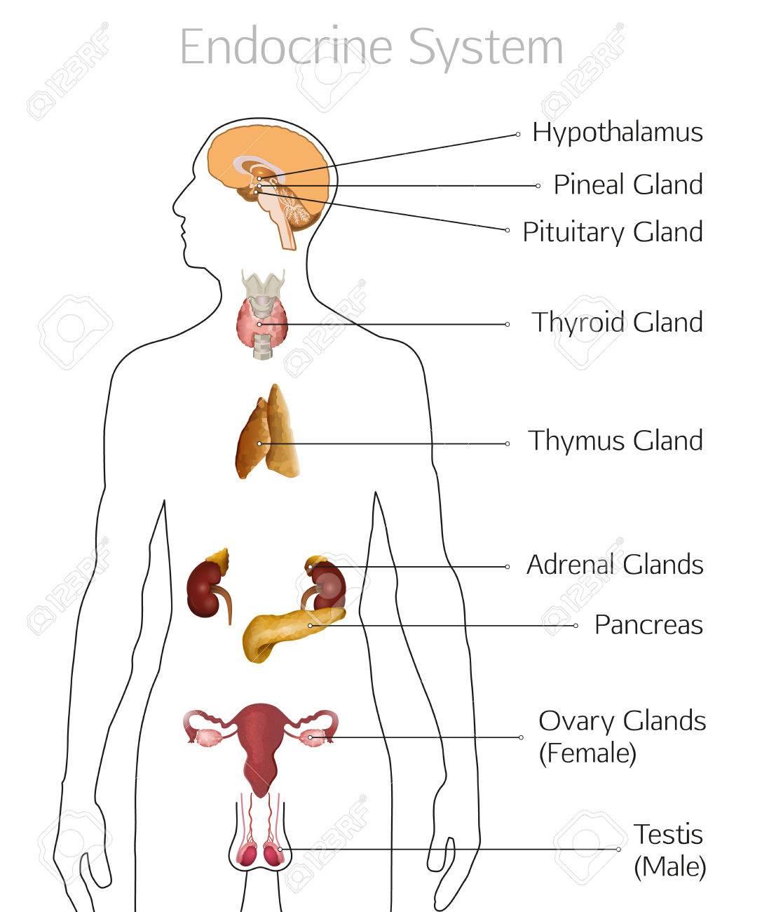 Sistema Endocrino Masculino. Anatomía Humana. Silueta Humana Con ...