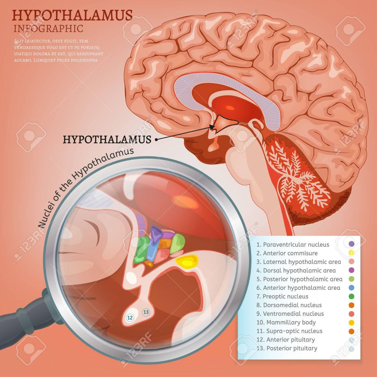Hypothalamus Infographic Image Detailed Anatomy Of The Human