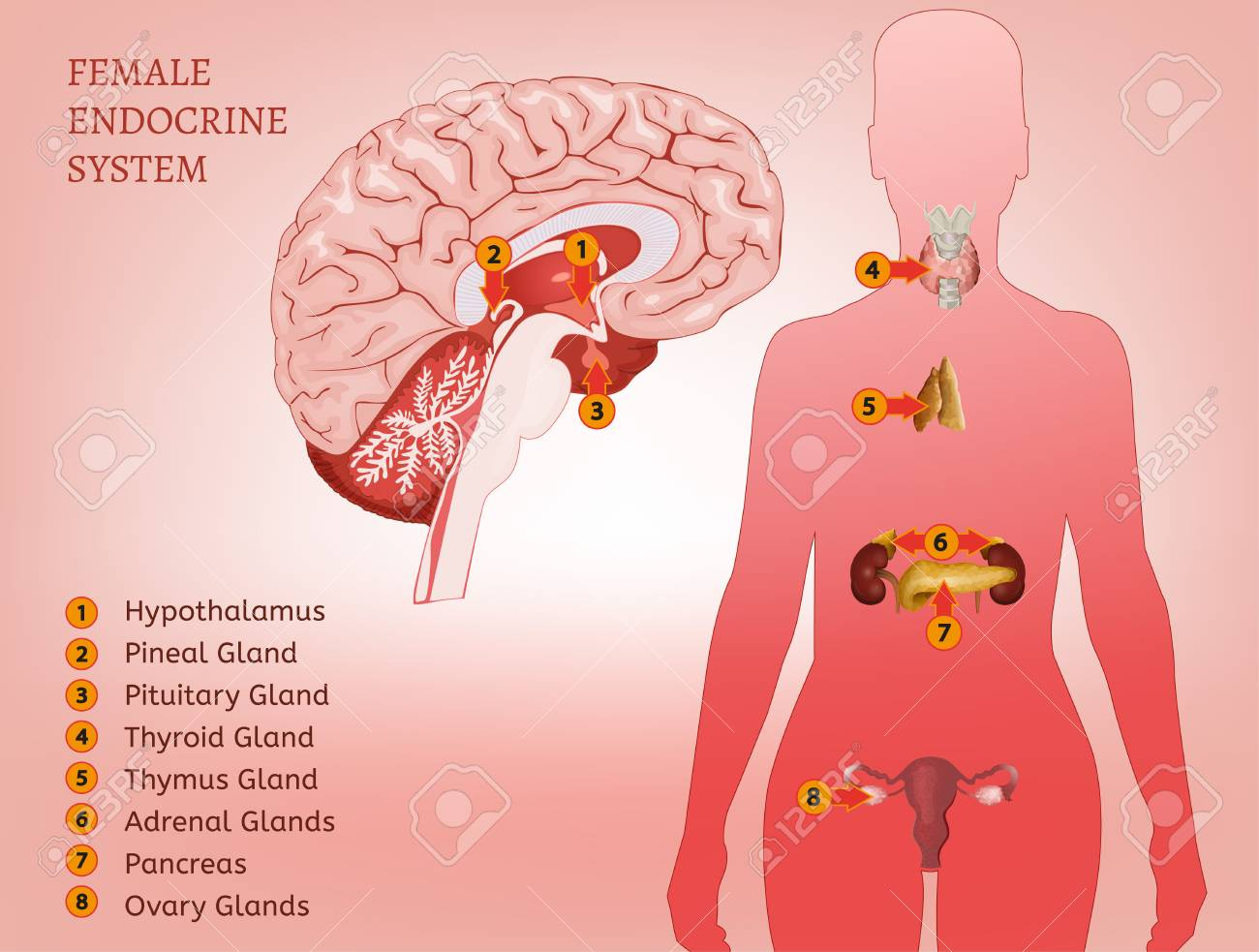 Endocrine System Woman Royalty Free Cliparts, Vectors, And Stock ...