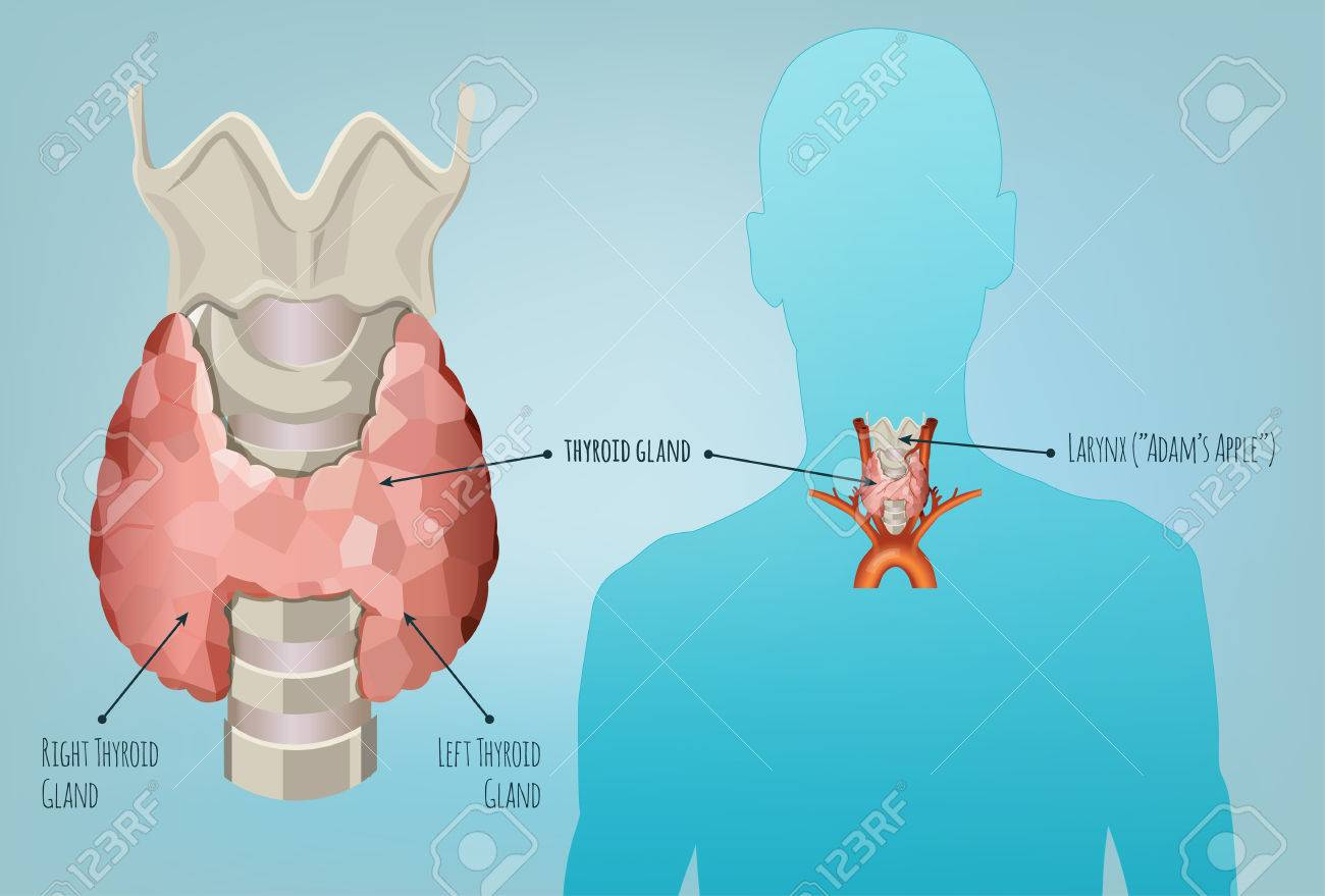 Thyroid Gland Vector Illustration. Medical Anatomy With Throat ...