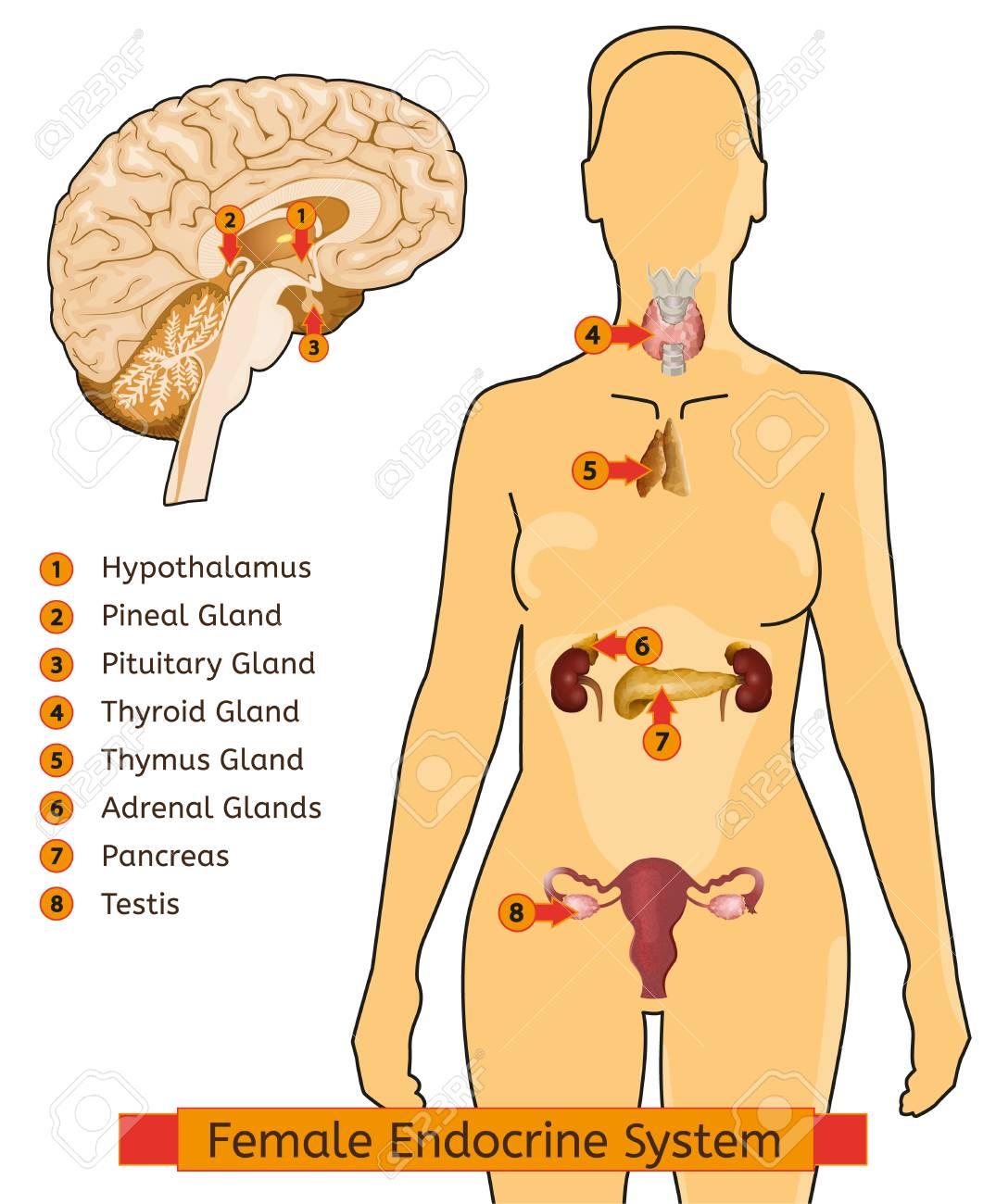 Beste Organe In Endokrinen Systems Bilder - Menschliche Anatomie ...