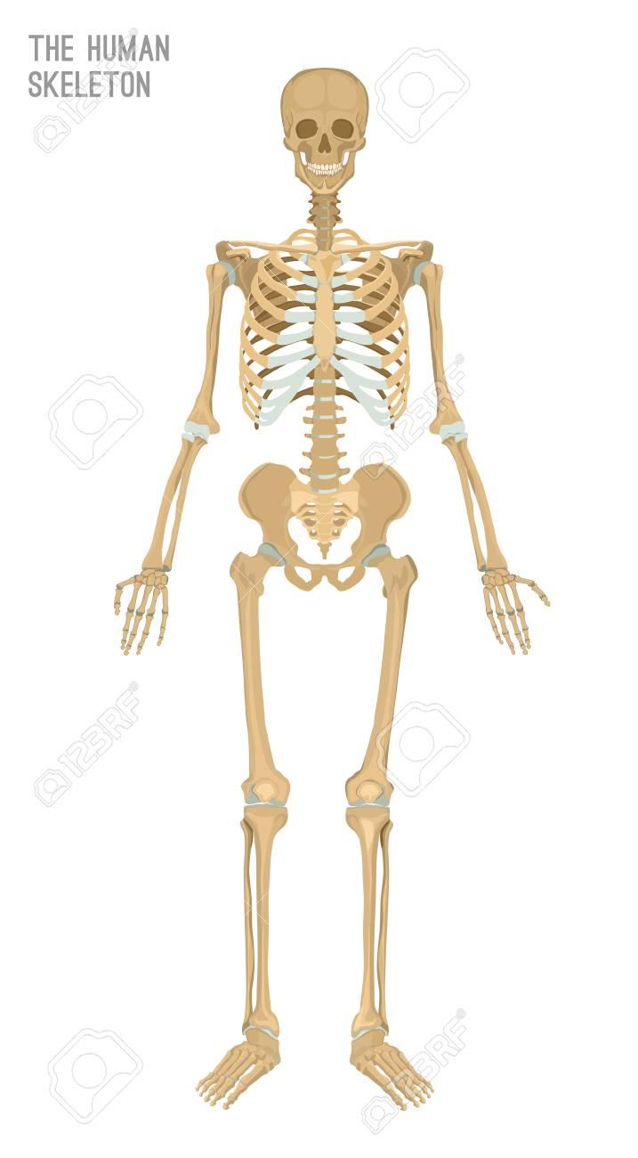 Imagen De Esqueleto Humano. Ilustración De Vector Aislado En Un ...