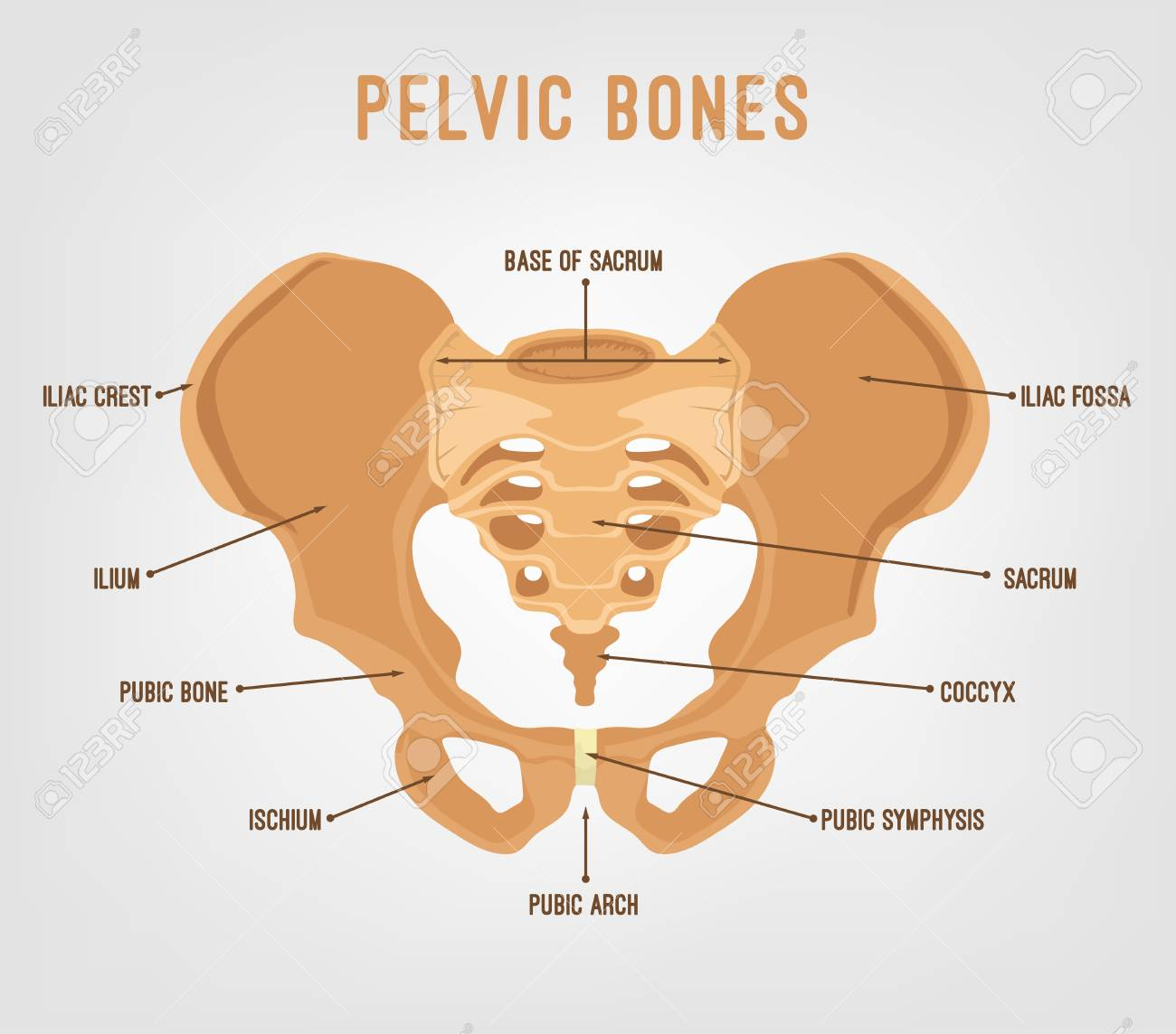 Human Male Anatomy Scheme Main Pelvic Bones Vector Illustration