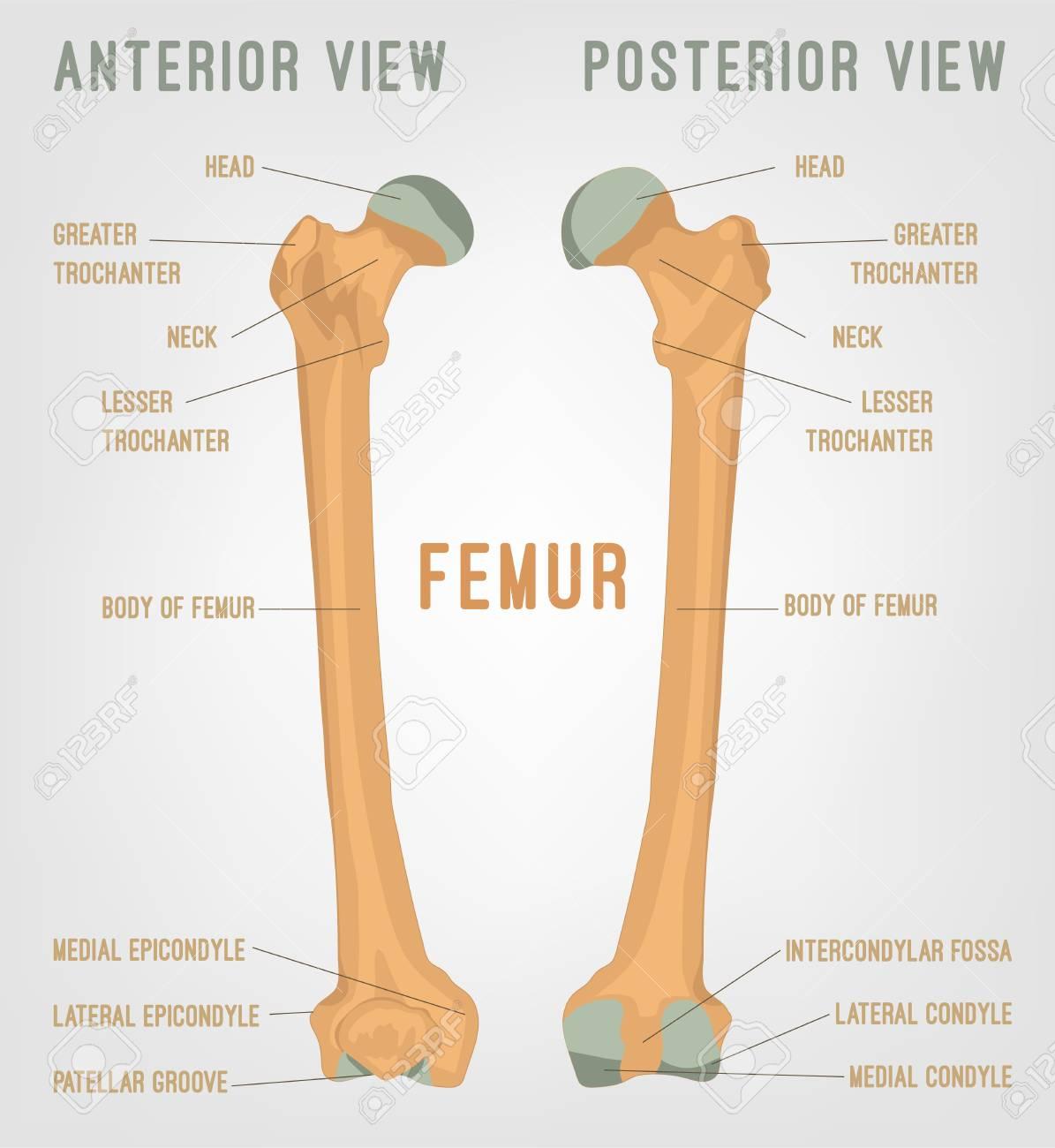 Human Femur Bones Image Vector Illustration Isolated On A White