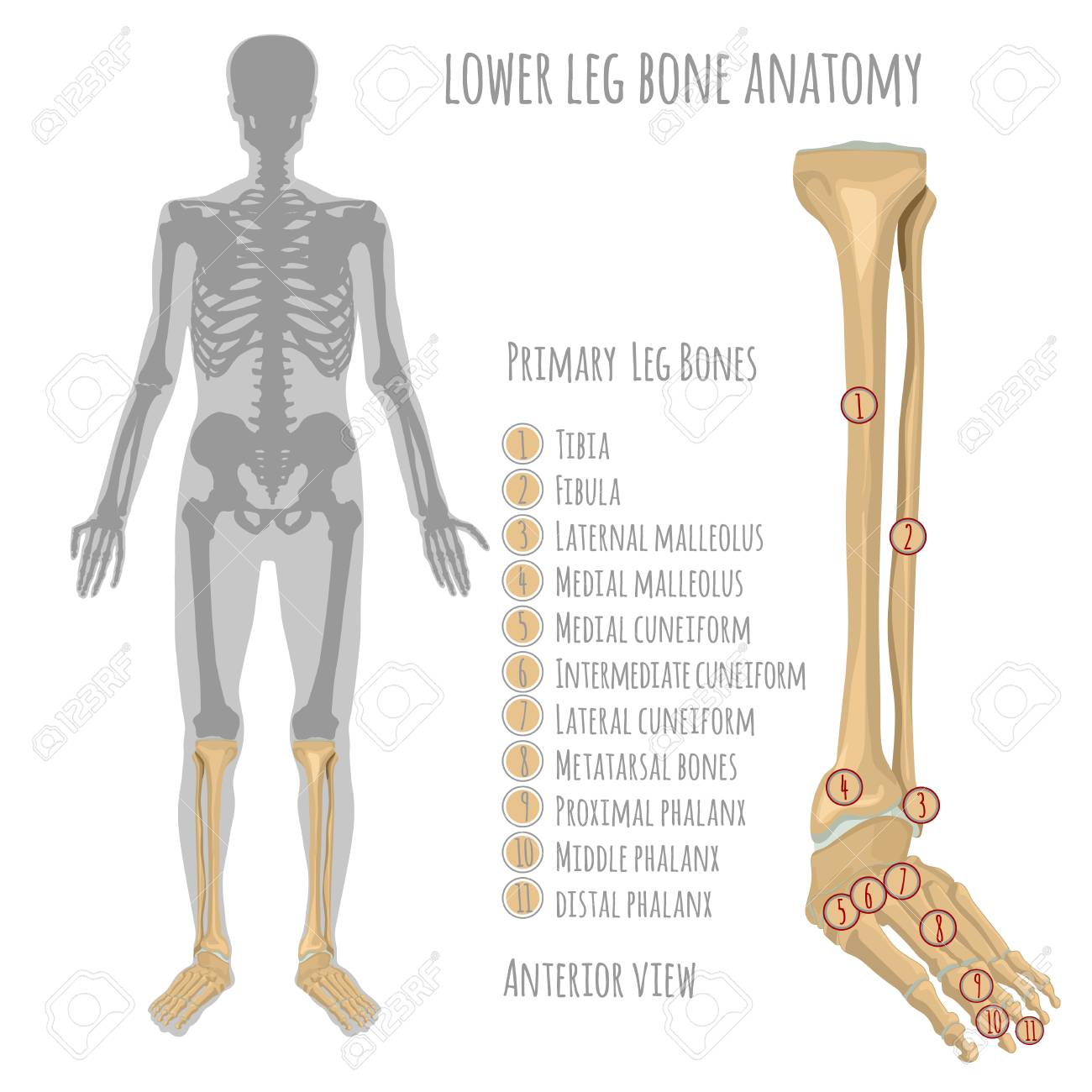 Lower Leg Bone Anatomy. Anterior View With Primary Bones Names ...