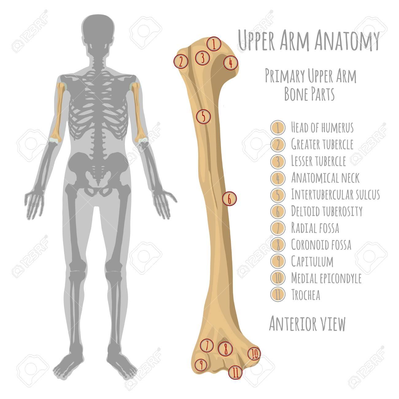 Male Upper Arm Bone Illustration Royalty Free Cliparts Vectors