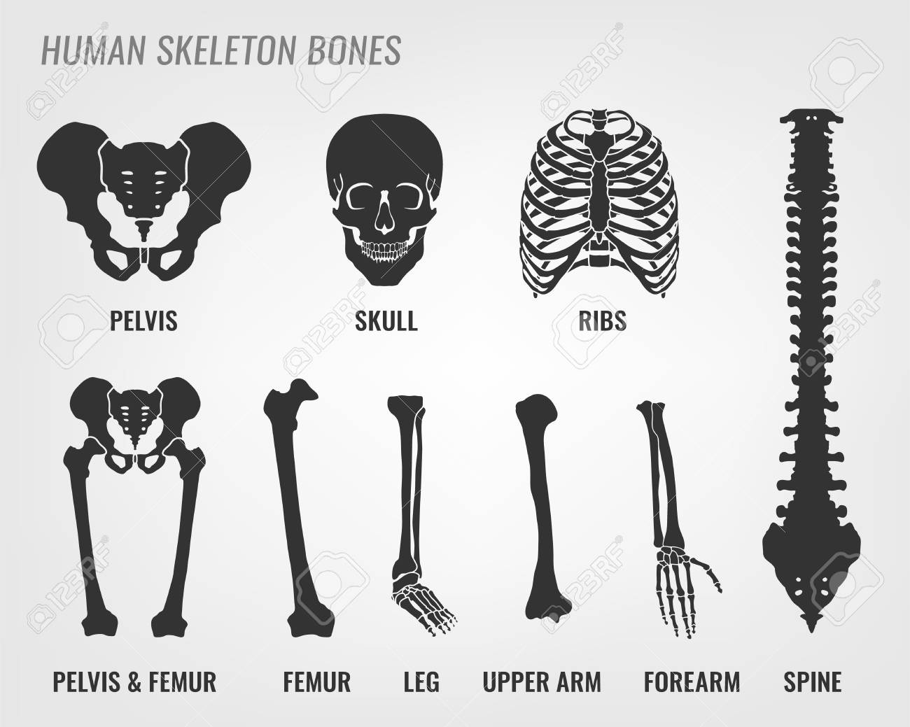 Human Skeleton Bones Vector Illustration In Flat Style With