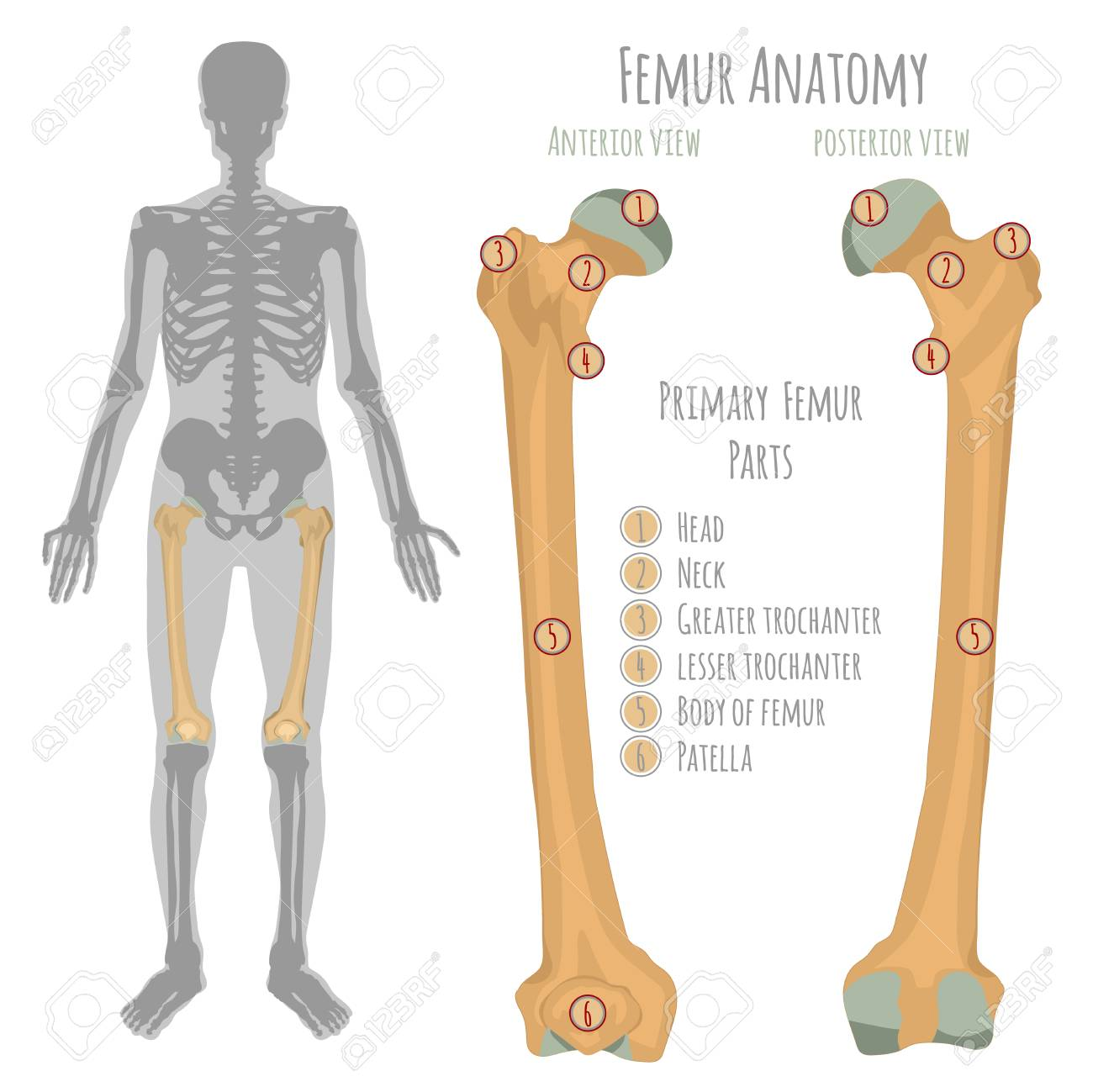 Male hip bone anatomy anterior view and posterior with primary male hip bone anatomy anterior view and posterior with primary bones names vector illustration ccuart Image collections
