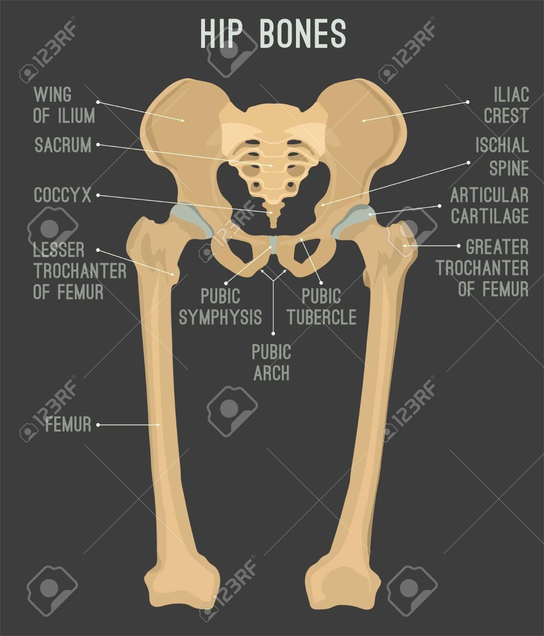 Human Male Anatomy Scheme. Main Hip Bones - Sacrum, Ilium, Coccyx ...