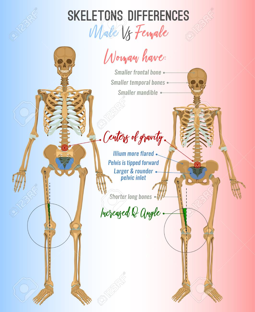 Skeleton Differences Poster. Male In Comparison With Female ...
