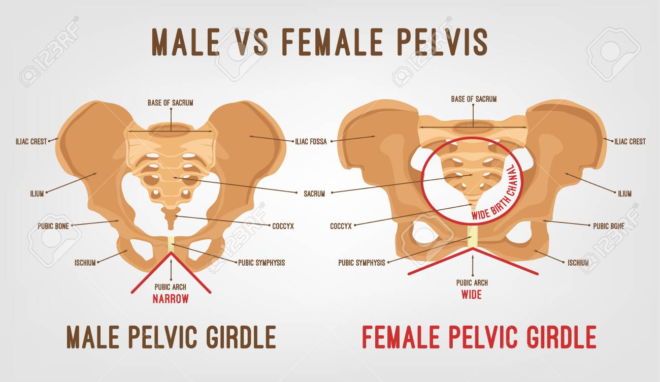 Male Vs Female Pelvis Main Differences. Detailed Vector Illustration ...