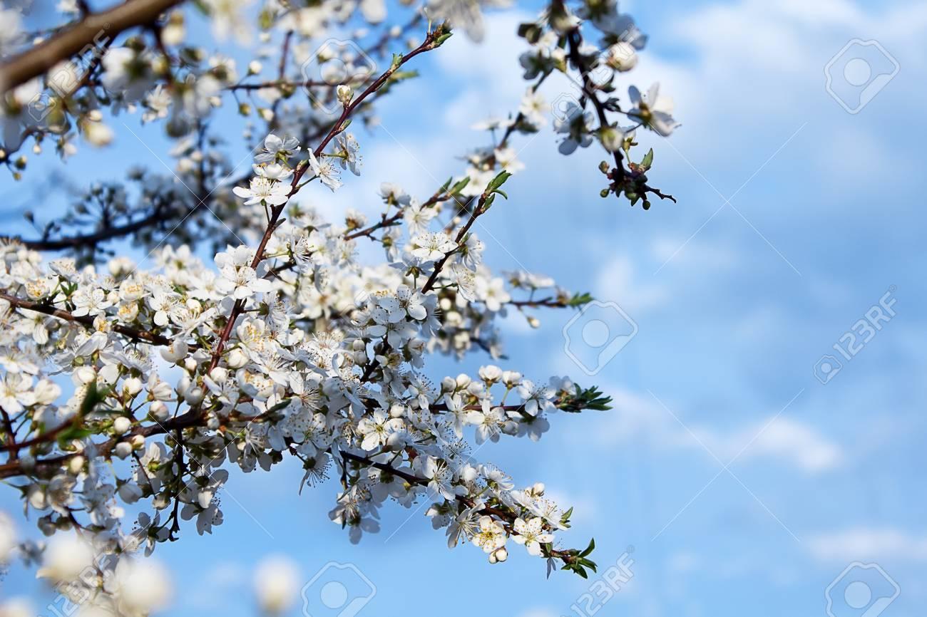 Blossom Tree Over Blue Sky Background Spring Flowers Spring