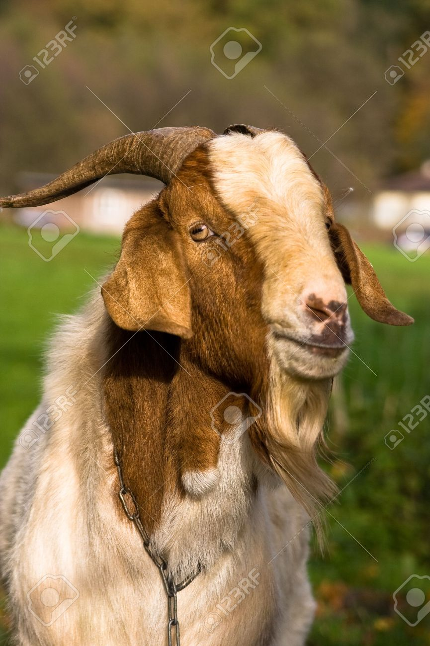 MALE GOAT Stock Photo, Picture And Royalty Free Image. Image 2767678.