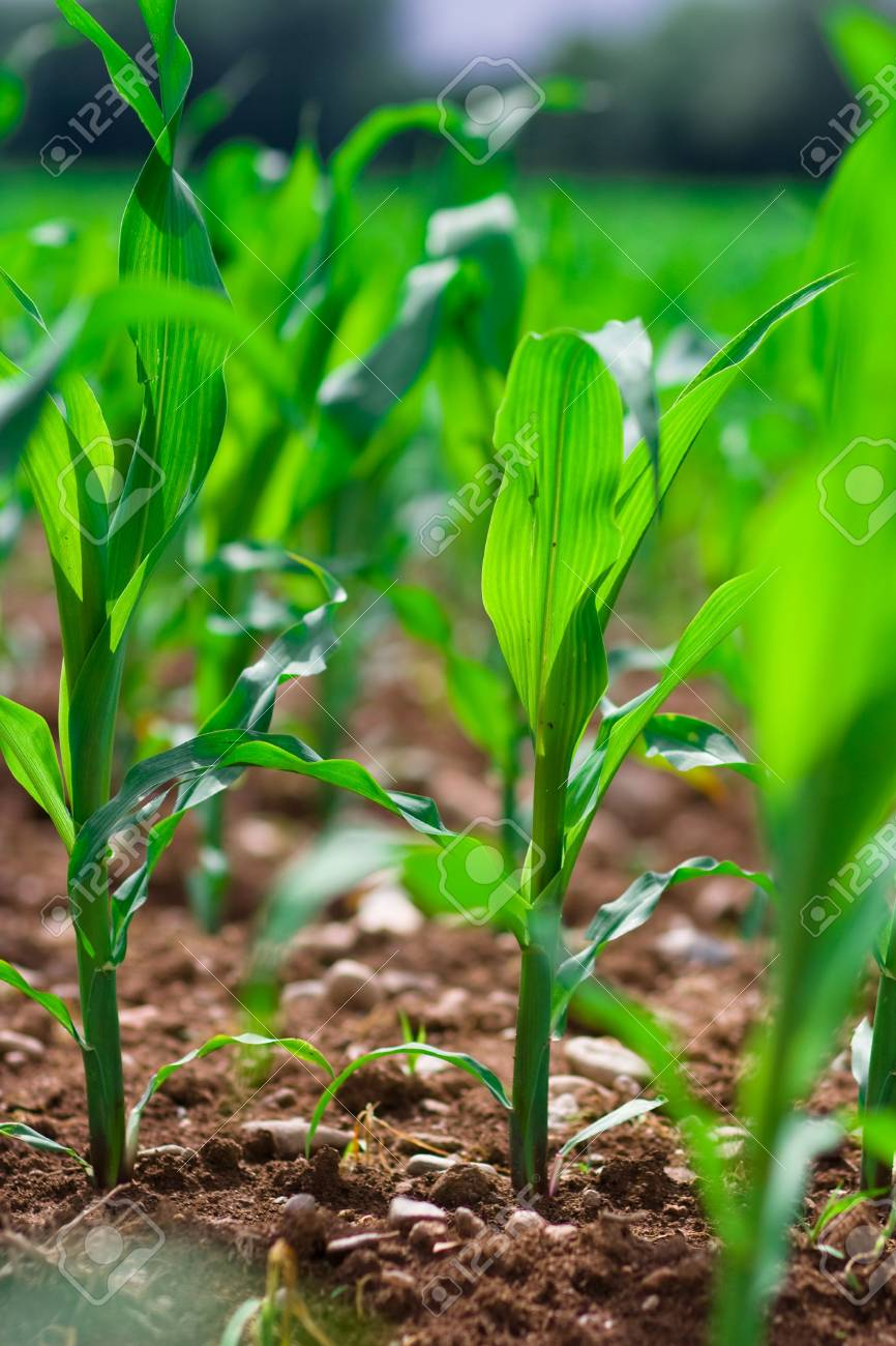 Row of corn on an agricultural field. Stock Photo - 3338223