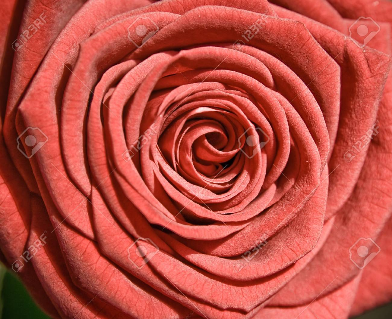 flower: red rose as postcard for example Stock Photo - 4235262